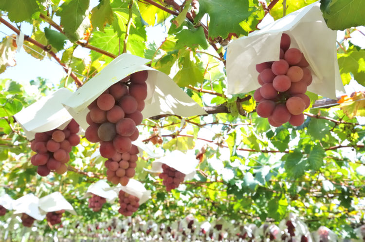 ぶどう栽培の基礎知識!日本の気候にあったおすすめ品種とは?