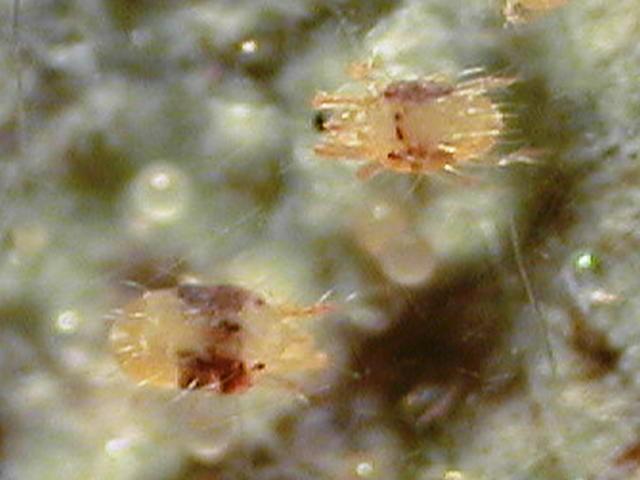 イチゴ ナミハダニ 成虫