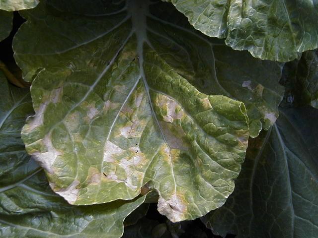 白菜 べと病 病斑