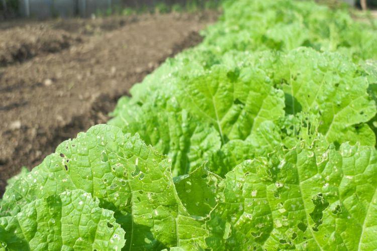 白菜栽培をするなら知っておくべき害虫対策
