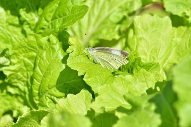 葉菜類に飛来するモンシロチョウ