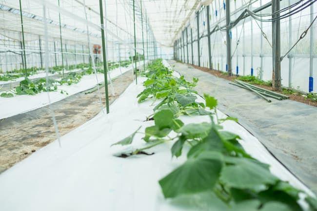 きゅうり 施設栽培