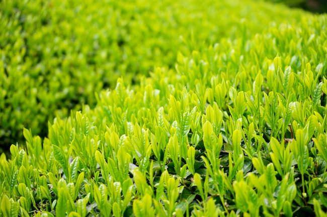 京都府 宇治の茶畑