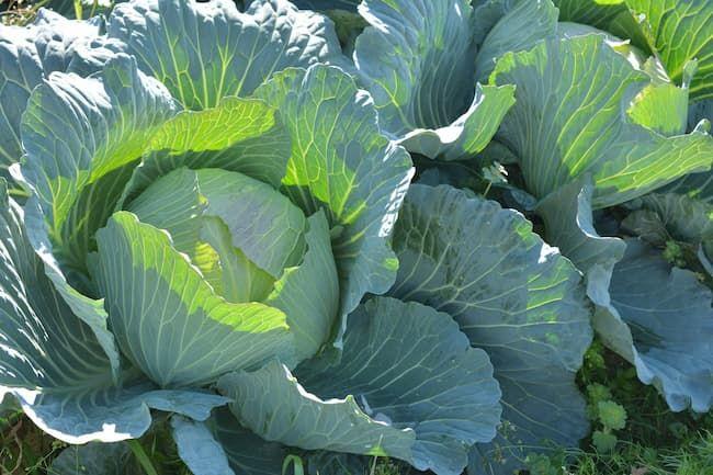 キャベツは菌核病に注意したい作物の1つ