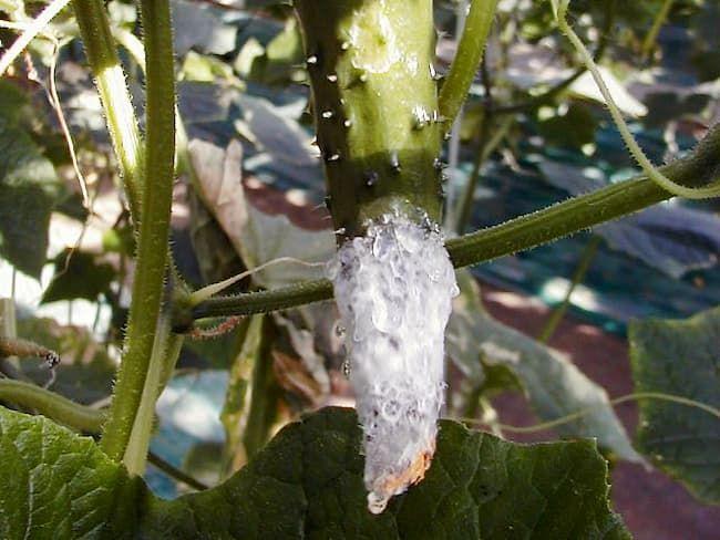 菌核病のきゅうり 白色綿状のかびが生じている
