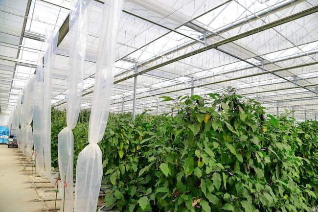 ナスの施設栽培でのカーテンや天窓の環境制御の様子
