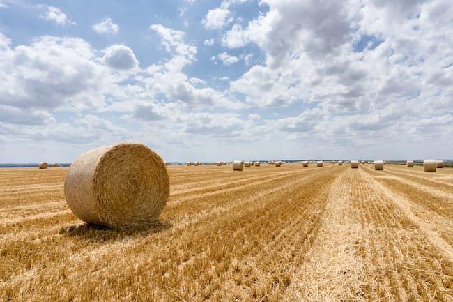 フランス ライ麦畑。北西ヨーロッパは麦類、ジャガイモ、ビートなどの栽培と養豚が盛ん