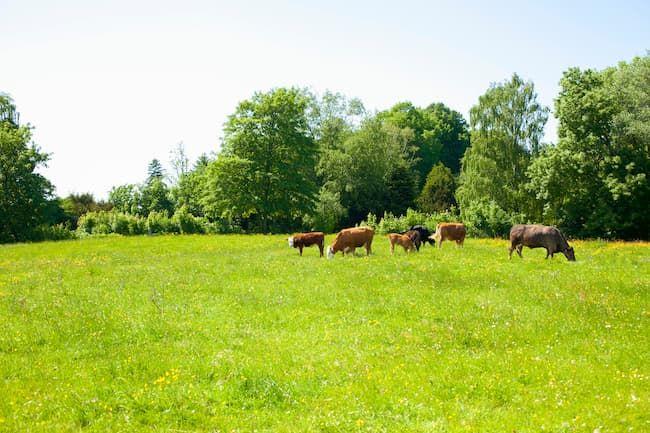 デンマークの牧場風景。ヨーロッパの北海沿岸部の農業は酪農が多くみられる