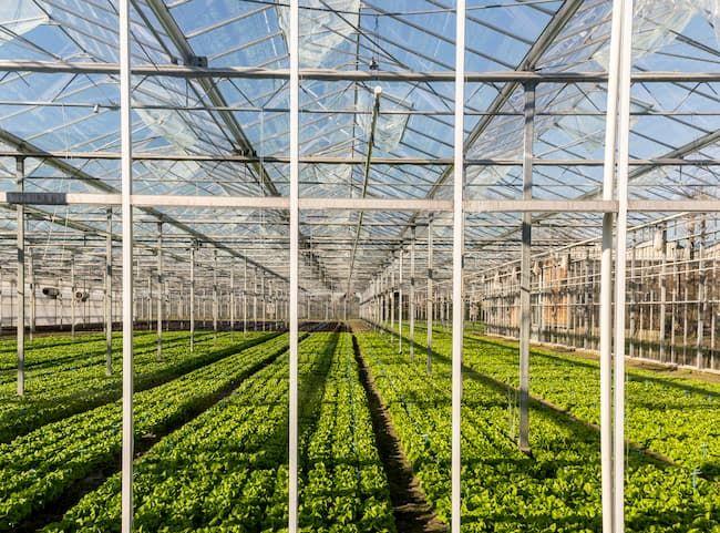 オランダ・マースデイクのレタス温室。オランダ農業の強みは最新のICT活用