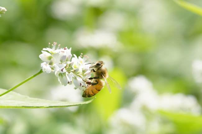 そば 受粉 ミツバチ