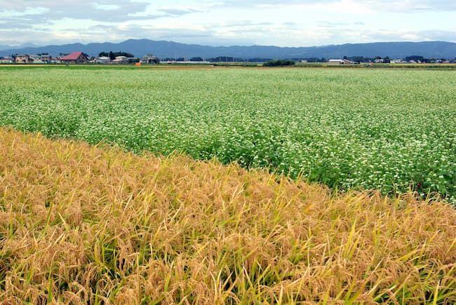 水田とそば畑