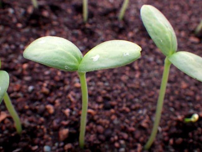 メロン育苗ハウスで発芽した『ルピアレッド』の苗