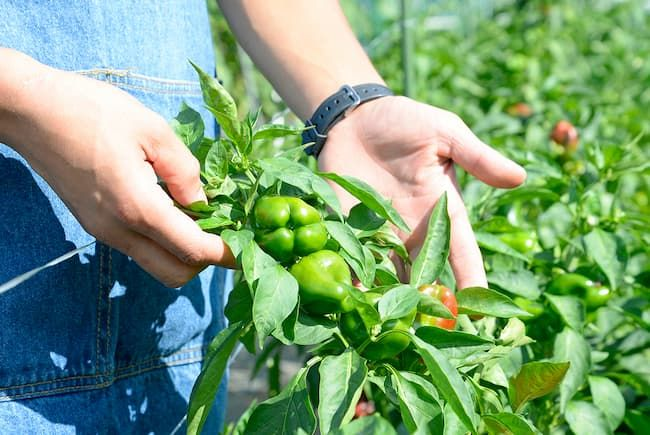 新座市 廣谷農園 多品種栽培のポイントは全体を広く目配りすること