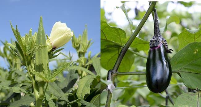 新座市 廣谷農園 夏には「オクラ」や「ナス」など、季節に応じた多品種を栽培している