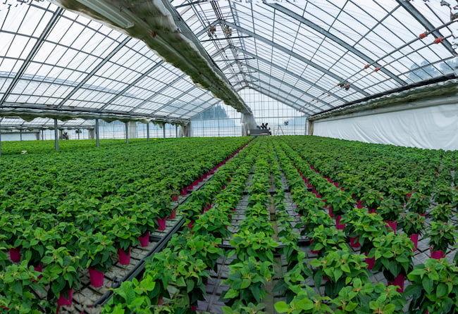 保田(幸)さんのマンゴー栽培には、長年培った花き栽培の知見が活きている