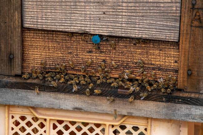 マンゴーの受粉用のミツバチ