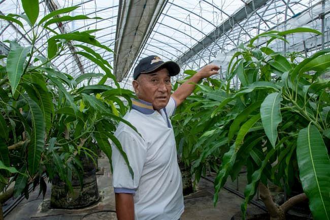 マンゴーの「ボックス栽培」を説明する保田会長