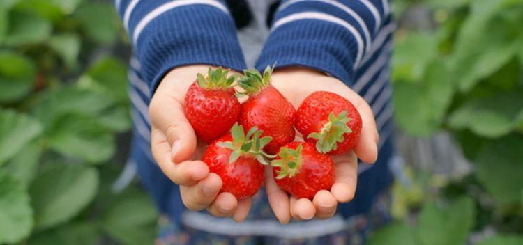 花き農家がフルーツビジネスに挑戦 ~後編:次世代が拓く新しいイチゴ狩りビジネス~