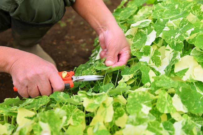 タケイファーム ナスタチウムは葉の部分も納品