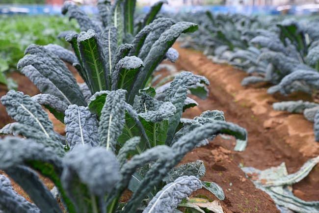 タケイファーム 秋から春まで長期間の収穫が可能なカーボロネロ
