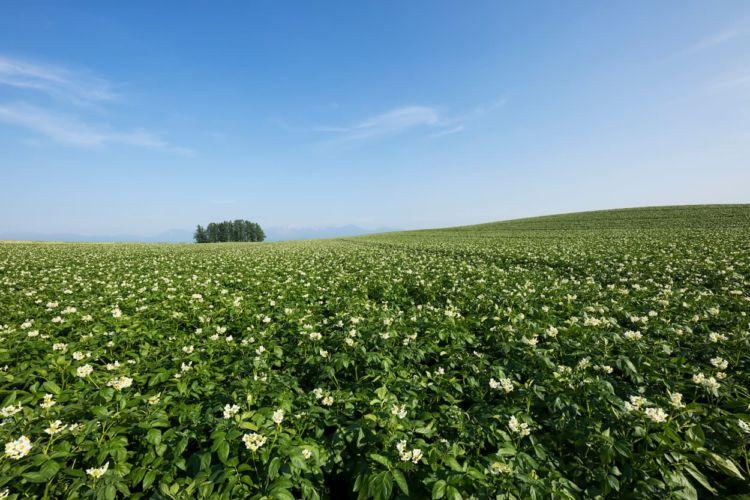ジャガイモ(馬鈴薯)の栽培をするなら気をつけたい、連作障害について解説
