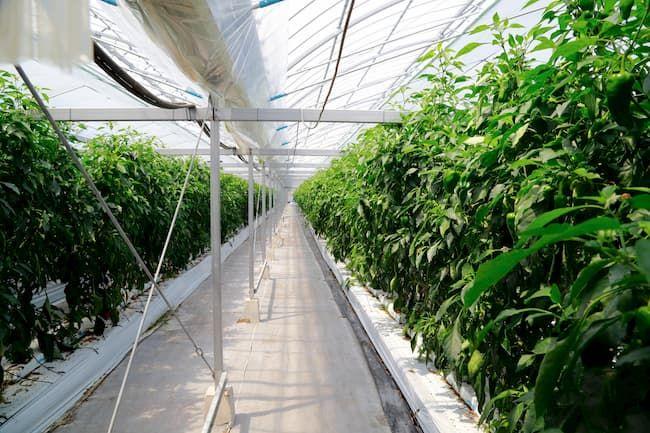 ピーマンの施設栽培 環境制御装置でハウス内環境を管理できる