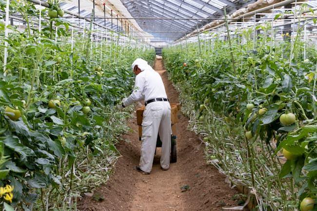 ハウス栽培のトマトの収穫作業
