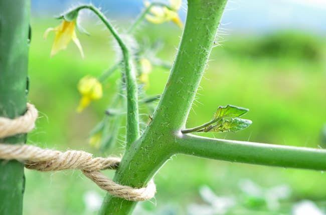 トマトの脇芽 脇芽かきや摘果で草勢を適切に保つ