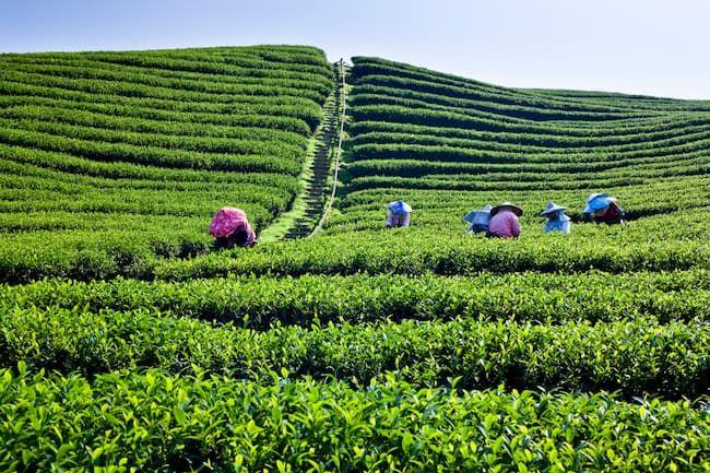日本茶では生産から加工・販売までを一気通貫で実施する農業法人も