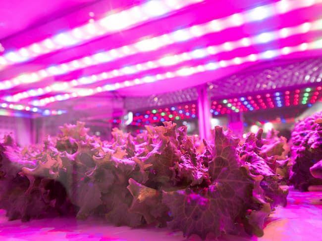 LED型の植物工場で栽培されるレタス