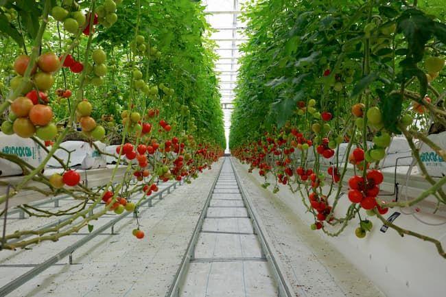 太陽光型の植物工場の栽培作物の7割をトマトが占める