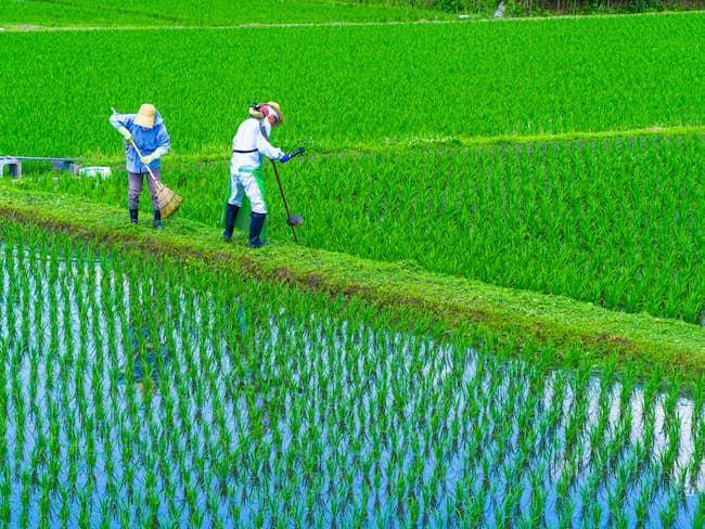 刈払い機での水田の畦畔(けいはん)の草刈り作業
