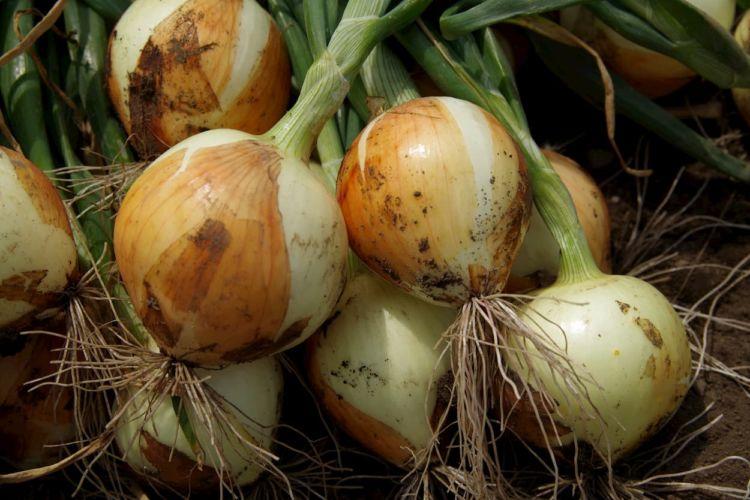 【玉ねぎ】土作りで収量アップ! 適した土壌と失敗しない栽培方法