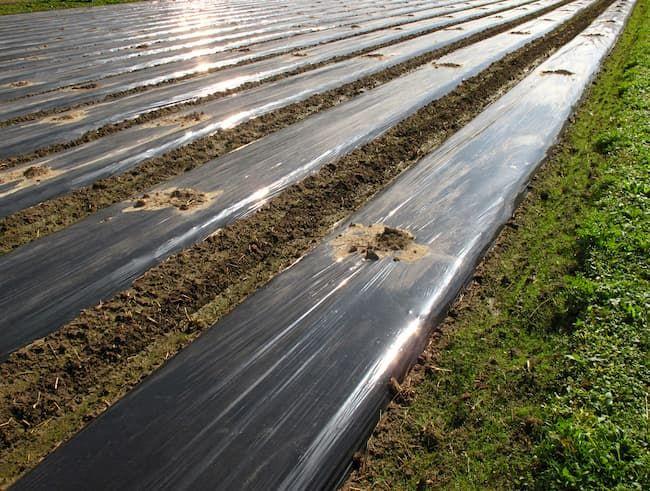 黒色マルチで覆われた玉ねぎの定植前ほ場