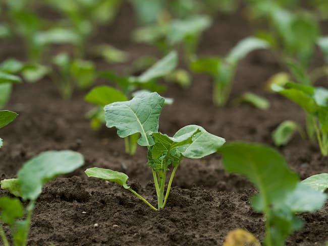 ブロッコリーの幼苗 害虫防除は早期からの耕種的防除が基本