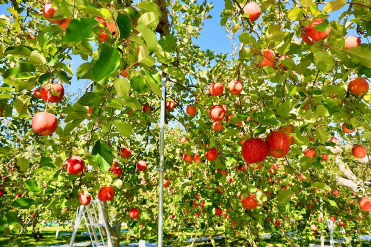 高所作業車の運転に資格は必要? 果樹栽培を効率化する導入事例