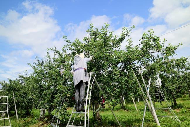 りんご 摘果作業