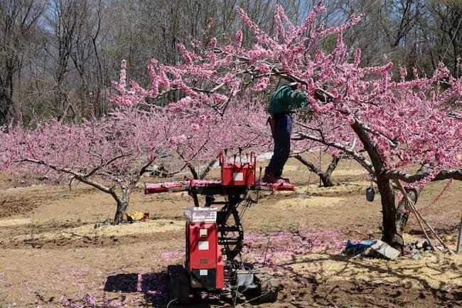 桃の摘花作業