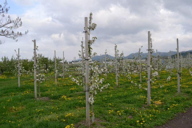 果樹苗木の植え付け方|時期や間隔&結実に向けた栽培のポイント