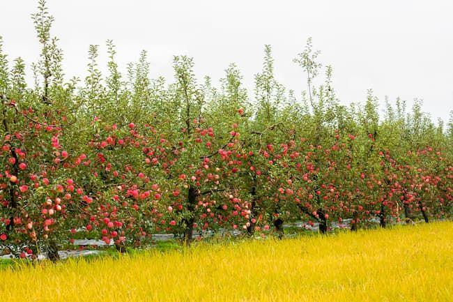 りんご 果樹園