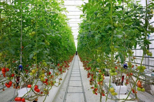 スマート農業 トマト 水耕栽培