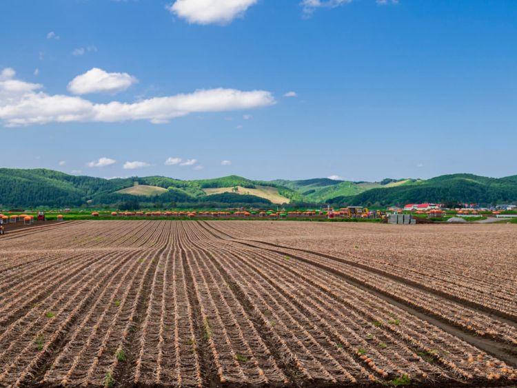 収益性の高い玉ねぎ栽培とは? 加工・業務用玉ねぎ栽培のポイント