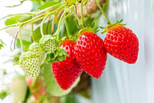 イチゴ ハウス栽培