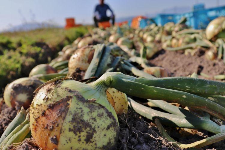 玉ねぎの定植に適した時期と株間は? 作業効率を上げる定植機も紹介