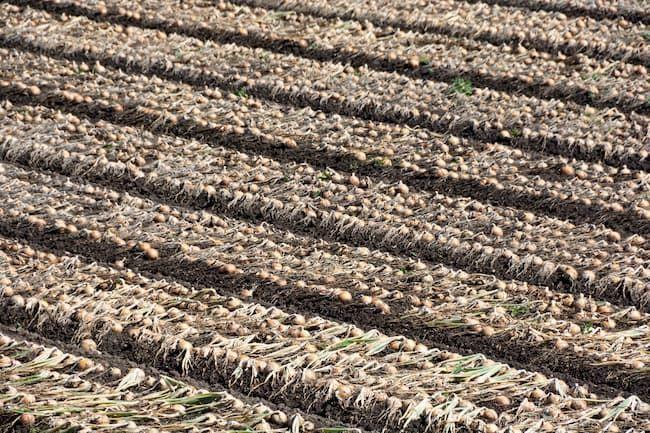 玉ねぎ 収穫時期