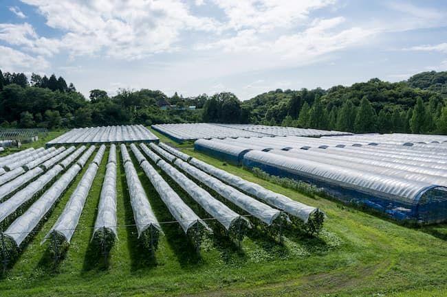 ブドウ畑 雨除けビニール屋根