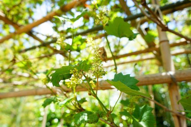 成熟前のブドウ