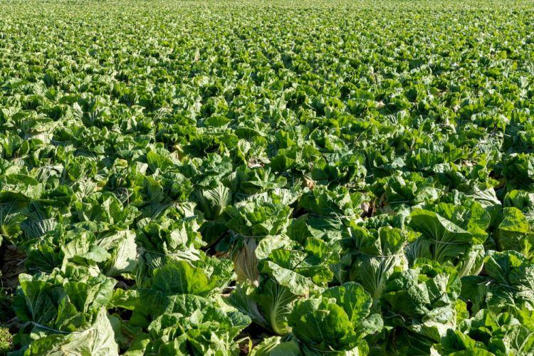 白菜栽培で発生する生理障害&病害虫被害一覧!症状・原因と対策は?