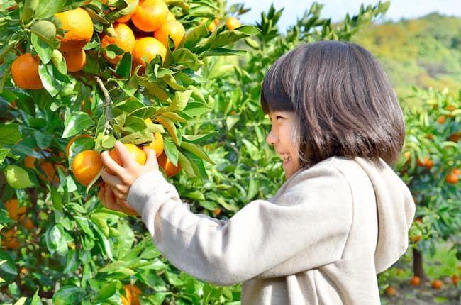 柑橘類に多い黒点病