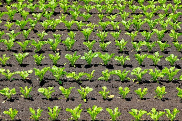【牛糞・鶏糞】堆肥施用量の目安と算出方法! 質&収量を上げる土作りとは